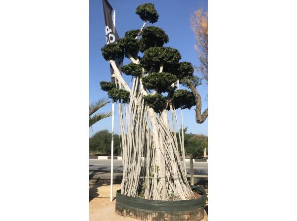 ficus bonsai 667