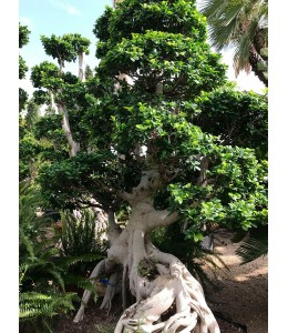 Ficus microcarpa 5