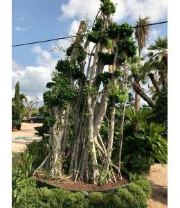Ficus microcarpa 107