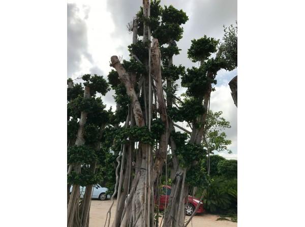 Ficus microcarpa 108