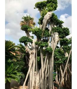 Ficus microcarpa 123