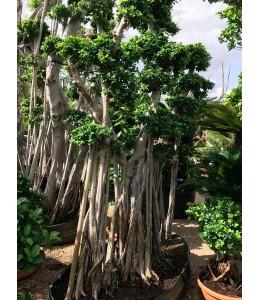 Ficus microcarpa 124