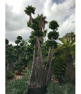 Ficus microcarpa 126