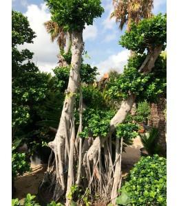 Ficus microcarpa 128