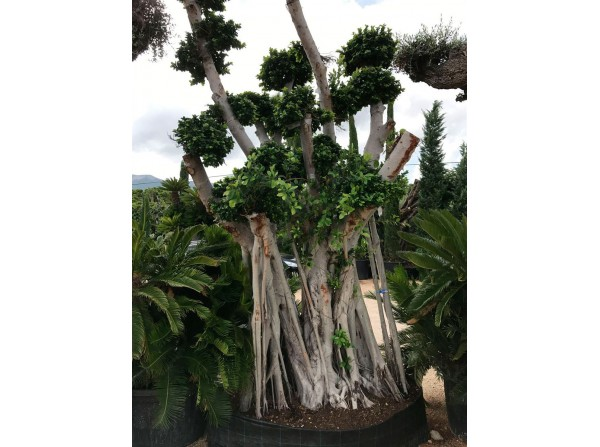 Ficus microcarpa 139