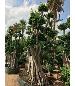 Ficus microcarpa 143
