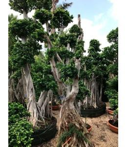 Ficus microcarpa 1580