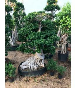 Ficus microcarpa 1667