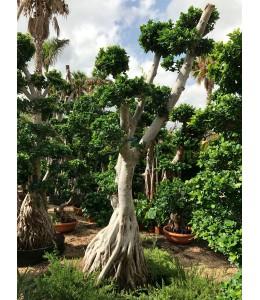 Ficus microcarpa 416
