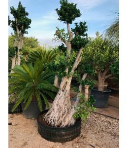 Ficus microcarpa 420