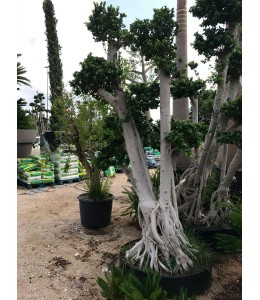 Ficus microcarpa 422