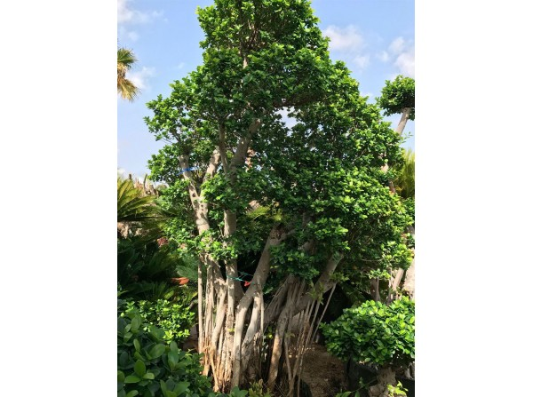 Ficus microcarpa 423