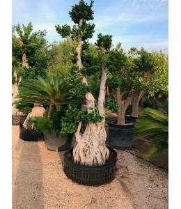 Ficus microcarpa 429