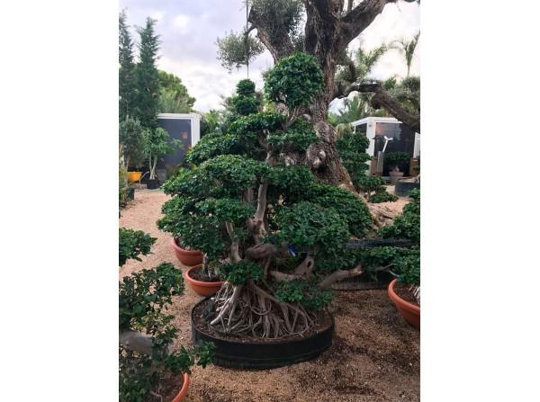 Ficus microcarpa 563