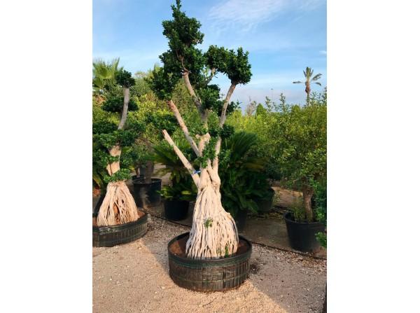 Ficus microcarpa 603
