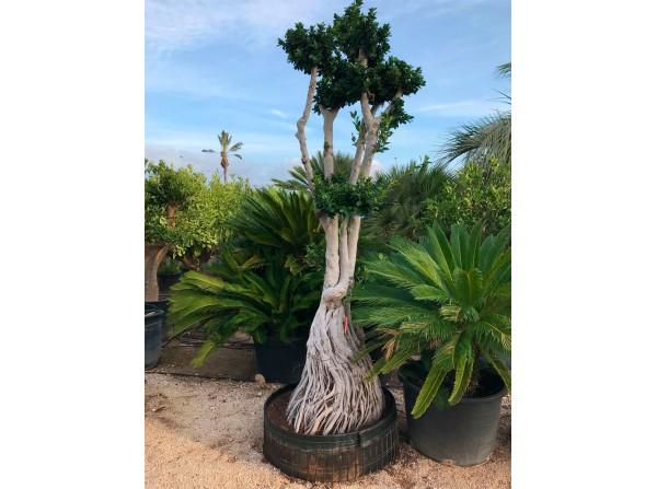 Ficus microcarpa 604
