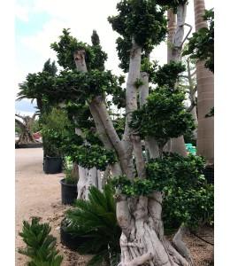 Ficus microcarpa 607