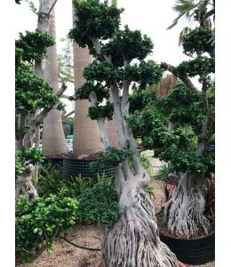 Ficus microcarpa 609