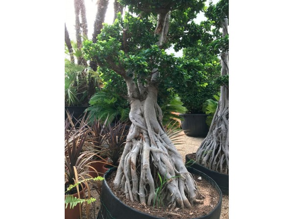 Ficus microcarpa 615