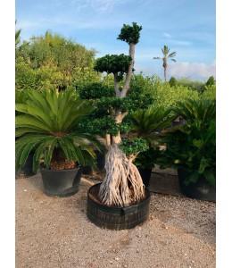Ficus microcarpa 621
