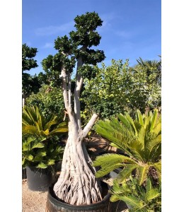 Ficus microcarpa 626