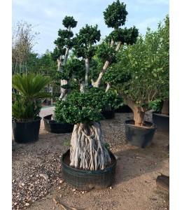 Ficus microcarpa 627