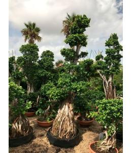 Ficus microcarpa 630