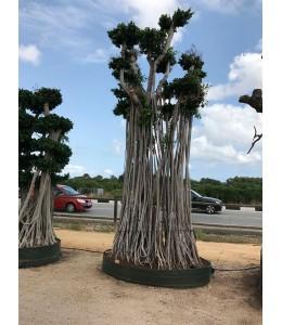 Ficus microcarpa 679