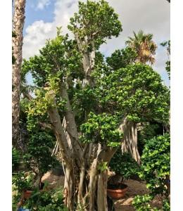 Ficus microcarpa 706