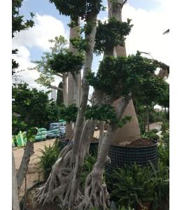 Ficus microcarpa 707