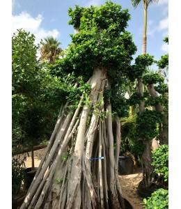Ficus microcarpa 930