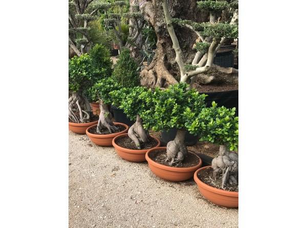 Ficus microcarpa S61